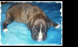 We raise quality AKC boxer puppies for over 10 years! we have references. they come with up to date shots, wormed, tails and dew claws done, pre-spoiled & socialized. available at 6-8 weeks old. now taking deposits to hold.Males and Females. Beuatiful