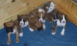 BOXER PUPPIES 4-SALE * AKC BOXER PUPPIES FOR SALE WITH PAPERS (FULL BREED) DEW CLAW REMOVED, TAIL DOCKED, DEWORMED AND UP TO DATE ON SHOTS. (GIRL & BOY) FLASHY FAWN AND (GIRL) BRINDLE. DAM 60 POUNDS, SIRE 75-80 POUNDS * CALL GUS: 305-525-8070 (I HAVE MORE