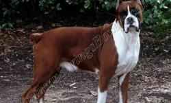 AKC Boxer Puppies - Unborn ? Whelping due December 15th 2012 (Ultra Flashy to Semi Flashy) - (Mahogany Fawn & Reverse Brindle Pups)  We are currently accepting reservation for this litter. All of our puppies are AKC registered and come with a health