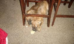 AKC Boxer puppy. I have one female left, She is  brindle with a black masks and she is ready to go to her new home. She comes from champion blood lines,  AKC Registered. The puppies have their tails docked and dew claws removed. They will