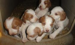 There are four males, $500, and one female, $650, all orange and white. These pups come from a long line of champions and hunters. Shiloh, the dam, has 13 CH, DC, AFC, and FC in her four-generation pedigree. Trooper, the sire, is the fifth largest