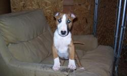 RED AND WHITE FEMALE AKC BULL TERRIER PUP 3 MONTHS OLD