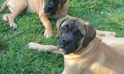 Two beautiful red fawn and fawn female bullmastiff puppies. Parents on premises. Born March 16, 2011. Ready for adoption. Champion bloodlines. Sire weighs 145 dam weighs 120.