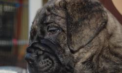 Beautiful, healthy, wrinkled, strong boned bullmastiff puppies. We have male and female, fawn and brindle puppies. Born on the 4th of July, they are now eight weeks old. They have been wormed and will have their shots up to date when sold ! These are 4th