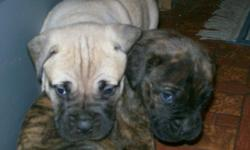 AKC Regestered Bullmastiff Puppies For Sale. Parents on site. Puppies will be ready to take home Jan.14 2011. Please call 787-289-8710 or 787-289-8710 for more information