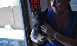 Beautiful AKC Registered german shepherd puppy for sale. The puppy is a black mix male with a very social personality. Dad's side includes a 2007 national champion and mom's side has top rated dogs on both sides. Pedigree titles include top V, ScH