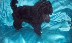 WANT A BEAUTIFUL SWEET AND HEALTH GUARANTEED STANDARD POODLE PUP? Both parents are onsite. Pups are utd on shots, tail docked, dewormed, started on advantage multi, raised indoors, papertrained, socialized, and great temperaments. Will sell without papers