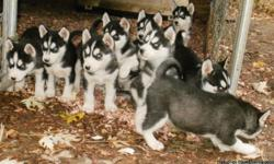 AKC, CH SIBERIAN HUSKY PUPS 4SALE ! PARENTS ARE DNA, HIP & EYE CERTIFIED. PUPS ARE AKC REGISTERED, VET CHECKS (3), WORMED (3), CURRENT 7-1 SHOTS, BLOOD WORK, FECAL & ARE FRONTLINED. CALL -- NOW everbluekennels.com