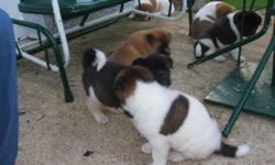 Hello akita lovers. We have a new litter of pups born March 1st, 2011. They are awesome withoth large bone and heads will be truly akita (big bear type). Males will go well over 100 pounds at maturity and females should go at least 85 pounds. Lots of bone