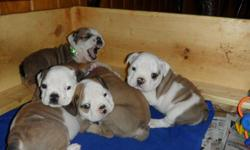 (2) male puppies ,UTD on shots and a 1-year congenital defect guarantee. male Sire (5).GENERATION PEDIGREE (5)CH.FUL TON THE BANDIT (4) CH.CHEROKEE LORD PRESTWICK (3)CH.PRESTWICK GAWAIN (2)CH.LEGEND SUMO OF FULTON (1) CH.TRIMBULL SMOKIN JOE for more