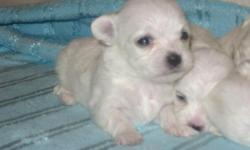 Very beautiful & tiny, baby doll face, sweet temperment (4) female puppies. Born 11-23-10. Come take your pick of the litter. Once the puppies are ready for their new home they will come with AKC papers, first shots/dewormed, and puppy package. $1,300