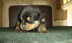AKC CHAMPION ROTTWEILERS THAT ARE OF EUROPEAN DECENTENTS, THEY ARE $700.00 WITH PICK UP AND $1150.00 WITH SHIPPING WHICH COMES WITH AIR FARE, CRATE, HEALTH CERTIFICATE. THE DEW CLAWS AND TAILS HAVE BEEN DONE AND A VET CHECK UP AND WORM CHECK UP WILL ALSO
