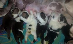 Males/females. Health guarantees. Delivery arrangements. Ready Feb 2013. Taking deposits. Own mother. Father owned by sumo bulldogs. Shots/workings. Microchipped. Can text or email pics