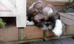 Beautiful tiny adorable 12 week old Gold And White Male Shih Tzu puppy for sale to approved home with a neuter contract, sweet personality, has had first three sets of vaccinations. Both parents are ACK Champion Show Dogs