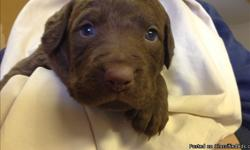 AKC Chesapeake Bay Retriever Puppies. 3 Females, 2 Males. Born on Thanksgiving Day. Prepare your home this Christmas for a puppy in January. They are excellent hunting and companion dogs.  All puppies will have a vet