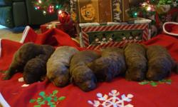 AKC Chesapeake Bay Retriever puppies. Born 11/23. Taking deposits now to reserve your puppy. The best waterfowl hunting dog! Full-blooded, AKC registered. Dewclaws removed, current shots, and wormings. $650 for limited registration(pet) or $800 for full