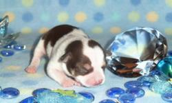 AKC Registered Chihuahuas with champion bloodlines. Perfect apple head and small coby bodies will just melt your heart! 2 males- one is white with cream markings and the other is white with lots of chocolate markings. You are welcome to come to my home