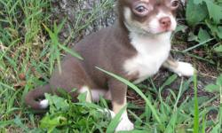 SALE PENDING (2 other puppies available) ***KISSES*** Gorgeous chocolate with white and tan female chihuahua puppy. Born May 19, 2010. Cuddly, quiet and friendly, well socialized with kids and other dogs. Family-raised with lots of love. AKC limited