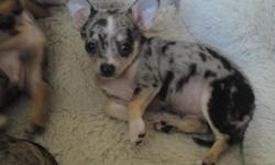 AKC reg. merle chihuahua puppies. I have 2 female and 1 male avail. The are UTD on all shots and d-worming. plz visit kaylieslittlechihuahuas.com for more pics