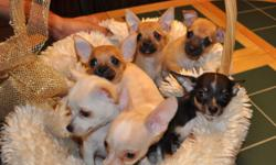I have a liter of AKC reg., chi puppies. They are 10 weeks old. Have all shots, dewormed pad trained and come pre spoiled. I only sell to loving and caring families that want another family member. Please call for information 352-687-1132 or 352-304-2949