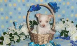 Beautiful AKC Chihuahua puppies with Champion Bloodlines available to go to loving forever homes. I have one white with cream boy for 600 and two females for 700. One female is chocolate and white with fawn markings and the other is a chocolate dapple