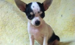 Adorable chihuahua puppy! Ready to go now to his forever home...he is VERY sweet, loves to snuggle, give kisses and PLAY! He is charting to be about 4 1/2lbs.. capecodchihuahuas.webs.com