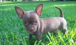 AKC Solid CHOCOLATE applehead male ($275). 8 weeks old on 8/2/11 (Born 6/7/11).
