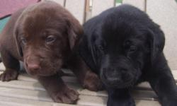Beautiful AKC Chocolate and Black Labrador Retriever Puppies who were born on May 25, 2011. There is one chocolate female available. There are three chocolate males, three chocolate females and one black female in the litter. They will be microchipped at