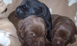 AKC Black and Chocolate Labrador Retriever puppies ($550 Blacks and $650 Chocolates) born on April 2, 2011. Ready for their new homes onMay 28, 2011 or later. Two chocolate female puppies and one black male puppy are available. The Mother, Alexia, is an