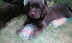 I have a super cute AKC Chocolate Lab pup he is the last pup we thought we wanted to keep a pup but decided we have to many already Pup comes with papers, 1st shots, wormed and vet check the pup loves water and would make a great hunting dog i have mom
