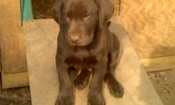 Akc Labrador pup. Male chocolate. Current on all shots and been dewormed. He is a beautiful and playful pup. Call 772-223-1492.