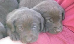 Chocolate Lab Puppies for sale! Puppies are healthy, active and beautiful. They have been raised around our 4 children, friends and lots of visitors. They are very comfortable being held and being around lots of different people. They are registered, dew