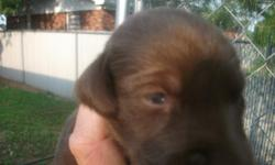 AKC CHOCOLATE LAB PUPPIES FOR SELL, COME WITH PAPERS FIRST SHOTS AND WORMED,THEY WILL BE READY FOR NEW HOME BY DECEMBER 25th ,I HAVE 3 GIRLS AND TWO BOYS LEFT TO SELL,THER DAD HAS SHOW CHAMP PET AGREE IN IS BLOOD LINE,MOM AND DAD BOTH ON SITE,LARGE BLOCK