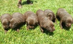 AKC Chocolate Labrador puppies Born on 05/17/2011 4 males / 2 females Puppies include: Current vaccines (DH2PP) Dewormed Dewclaws removed Microchipped Health Guarantee 3 generation pedigree AKC papers Medical record booklet I would like to invite you