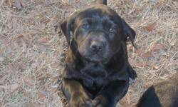 Three Chocolate Males available. Excellent Pedigree with champion bloodlines. Bred for Intelligence, Temperament and Trainability. These puppies will make great hunting companions and/or wonderful family pets. Very well socialized, dew claws removed,