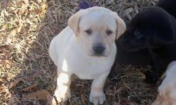 Beautiful Labrador Retriever Puppies. Three Chocolate males available. Excellent Pedigree with multiple titled dogs. Bred for Intelligence, Temperament and Trainability. Very Well Socialized, Dew Claws Removed, First Shots, Wormed, Written Guarantee.