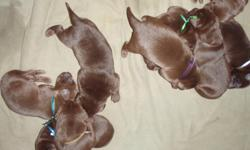 WE JUST HAD A LITTER OF 9 PUPPIES. THEY ARE ALL CHOCOLATES. THEY ARE 16 DAYS OLD AND THEIR EYES ARE OPEN. I HAVE STARTED POTTY TRAINING AND THEY ARE DOING VERY GOOD. THEY WILL BE STARTED ON PUPPY FOOD AT 21 DAYS OLD. THEY WILL BE READY TO GO ON MARCH 7TH.