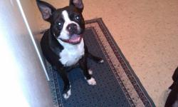 AKC and CKC registered Boston Terrier Male.. 2 years old.. proven breeder.. very friendly ..i am selling because i do not have enough time to spend with him anymore...house trained..call 318-387-4600 or email me blountgirl78@yahoo.com or