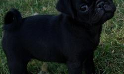 AKC & CKC Pug puppies. We are now accepting deposits on available puppies and upcoming litters. Raised in our home with love and children.Our dogs and puppies are apart of our family. We have been raising quality puppies for over eleven years.Dew claws