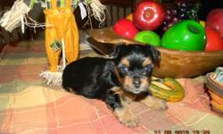 black/tan females,and one male. Born 10/09/12 will be ready by Christmas. Vet checked. shots up to date, dew claws removed and tails docked per vet. Puppies are raised inside our home , potty trained to puppy pads. The Puppy in the first picture is the