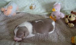 AKC & CKC Reg Min. Dachshund Puppies. Born 4/7/2011 Ready 5/28/29th (1) Isabella & Tan Piebald Male left!! Smooth coat. Pups are well socialized and sold with 2 year health contract, vet checked, current on shots and wormings. Parents on site. Taking