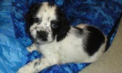AKC Cocker Spaniel Puppies 8 weeks old Raised around Children very playful and ready for loving homes for more info or to come see these beautiful puppies. call ( 281) 890- 8551