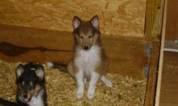 AKC registered, champion bloodline, UTD on shots and wormed ready to go home, P.O.P., 3 Males- 2 sable and 1 tri., very beautiful and sweet. $350.00 each