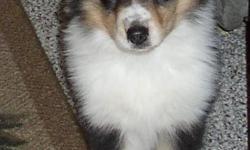 AKC Collie Puppies, They are very beautiful and great with children and other pets, they come with full registration and have champion pedigree. Have had shots and come with health cert. Born nov, 05 2010 Ready for good homes.We have tri color and white