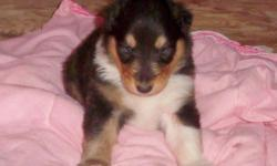 AKC COLLIE PUPPIES BORN AUGUST 5. MALE AND FEMALE TRICOLOR AND ONE SABLE AND WHITE MALE. PARENTS ON PREMISES. MOM SABLE AND WHITE AND DAD TRICOLOR. FULL SIZE ROUGH COLLIES.