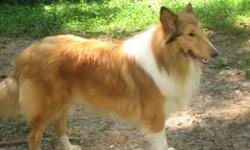 AKC COLLIE PUPPIES - LASSIE HAS A NEW LITTER - SABLE AND WHITE - BORN NOV.16 - THEY WILL BE RAISED IN MY HOME WITH LOTS OF TLC. THEY WILL HAVE FIRST SHOTS AND VET CHECK WHN OLD ENOUGH. PARENTS ARE ON PREMISES OF COURSE. I WILL SEND