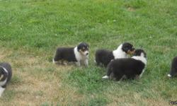 AKC Collie puppies ( lassie type) born june 23rd 2012 ready to go in august.They are beautiful puppirs. They are great family pets. Will have first shots and current on deworming. 318-222-7575