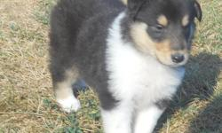 AKC Collie puppies (lassie type). beautiful tri colors.Great pedigree. Good with kids and other pets. Have had shots and dewormed. Males and females.  Call 318-222-7575  Ready to go !!