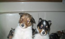 For a pet only the price is $350 with AKC pet registration. For Full breeding or show AKC registration papers the price is $500 plus California state sales tax (mandatory tax on pups sold in Calif.) See our ad on the American Kennel Classifieds. No spay