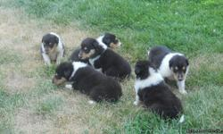 AKC Collie puppies, born june 23rd 2012. They are tri color.They are beautiful puppies,Parents are normal eyed.Great pedigree.Wonderful family pets, will have first shots and current deworming.Call 318-222-7575